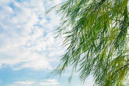 Gałęzie drzewa wierzby płaczącej spada w parku na błękitne niebo z białymi chmurami. Wierzba bagienna z wąskimi, długimi liśćmi zwisającymi w dół