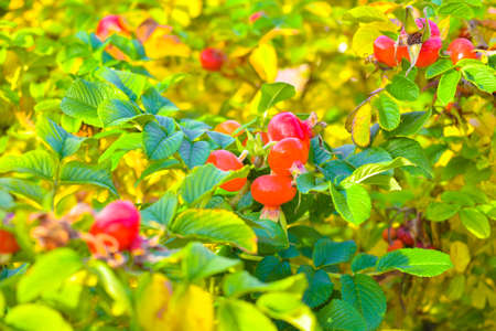 Sweet red berry briar growing on bush with green leaves, natural plant product hanging on branch. Briar photo consist of whole ripe berries, tasty product dog rose. Eat juiced berry briar on health. Archivio Fotografico