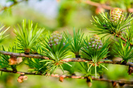 Bright green fluffy branches of larch tree Larix decidua Pendula in summer day. Natural beauty of elegant larch tree twig. Close-up branch of young larch as green spring background