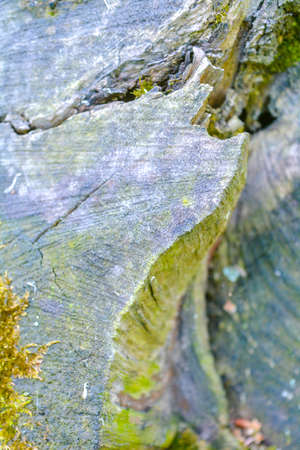 Close up view of old stump covered with green moss in the forest. Close-up nature wood details. Wood texture of cut tree trunk Stock Photo