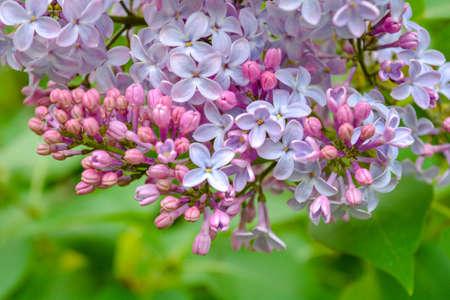 Lila Blumen blühen im Frühlingsgarten. Gemeiner Flieder Syringa vulgaris Busch. Nahaufnahme einer Niederlassung auf einem Fliederbaum Standard-Bild