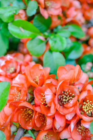 Close up of red flowers at the tip of a bush branch. Blooming bush with green leaves and red flowers with shallow depth of field and selective focus