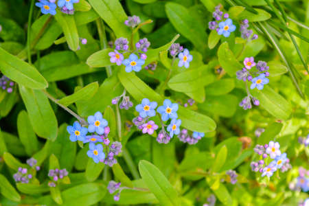 Blooming little blue meadow flower in the garden. Spring Myosotis flowers close-up. Forget-me-not flowers blooming in the green grass Stock Photo
