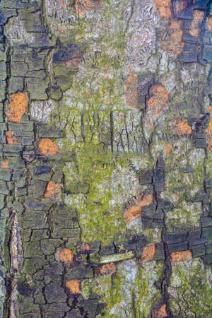 Texture of old tree bark with green moss Stock Photo