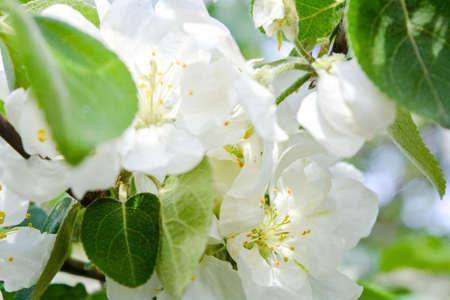 Apple tree branch with white flowers. Spring apple tree in blossom. Close up white flowers with Shallow DOF Stock fotó