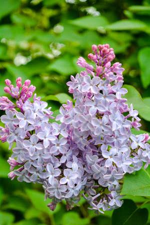 Fleurs lilas qui fleurissent dans le jardin de printemps. Buisson lilas commun Syringa vulgaris. Gros plan d'une branche sur un lilas