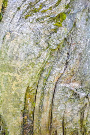 Texture of old tree bark with green moss Imagens