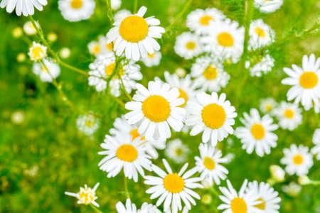 Feld der Kamillen am sonnigen Sommertag in der Natur. Aromatherapie mit Kräutern Kamille Gänseblümchen. Makroansicht von Medizinkamillenblüten auf grüner Wiese Standard-Bild