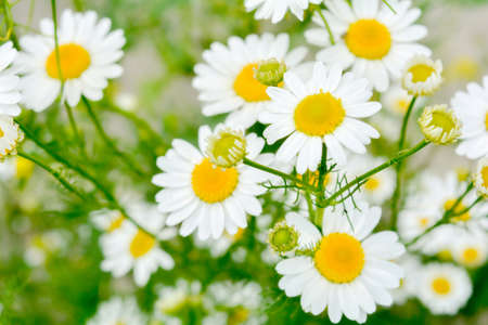 Field of camomiles at sunny summer day at nature. Aromatherapy by herbs camomile daisy flowers. Macro view of medicine chamomile flowers on green meadow