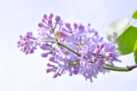 Fleurs d'arbustes lilas qui fleurissent dans le jardin de printemps. Buisson lilas commun Syringa vulgaris. Gros plan avec flou artistique d'une branche sur un lilas