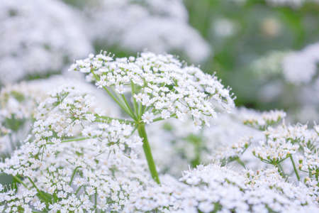 View of meadow white flower of Aegopodium podagraria L. called ground elder, herb gerard, bishop's weed, goutweed, gout wort, snow-in-the-mountain. Small white flowers as romantic wedding background 版權商用圖片