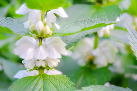 White dead-nettle, Lamium album, weed blooming close-up, selective focus, shallow DOF. Medical herb in natural habitat Banco de Imagens