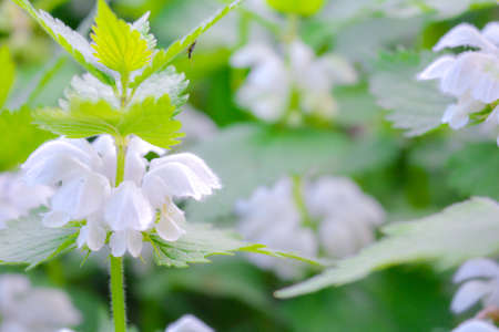 White dead-nettle, Lamium album, weed blooming close-up, selective focus, shallow DOF. Medical herb in natural habitat Stok Fotoğraf