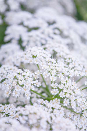 View of meadow white flower of Aegopodium podagraria L. called ground elder, herb gerard, bishop's weed, goutweed, gout wort, snow-in-the-mountain. Small white flowers as romantic wedding background