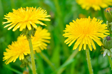 Yellow dandelion, taraxacum officinale, flower on spring meadow. Dandelion blossom in green grass on the field. Yellow summer flowers. Spring time concept with blooming dandelion