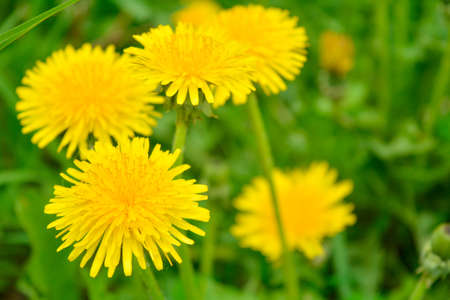 Yellow dandelion, taraxacum officinale, flower on spring meadow. Dandelion blossom in green grass on the field. Yellow summer flowers. Spring time concept with blooming dandelion Stock Photo