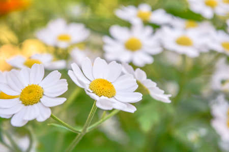 Field of camomiles at sunny summer day at nature. Aromatherapy by herbs camomile daisy flowers. Macro view of medicine chamomile flowers on green meadow Standard-Bild