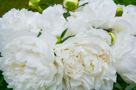 Close up of beautiful blooming white peony in summer garden. Natural flowers as floristic decoration wallpaper or greeting card. Macro view with soft focus of fluffy, disheveled white peon petals