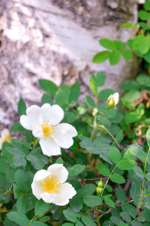 Shrub of white Dogrose or Briar flowers with soft focus. Macro view of flowering rose hips of Briar eglantine canker-rose - delicately flavored Eurasian wild rose is magic symbol of Venus and love