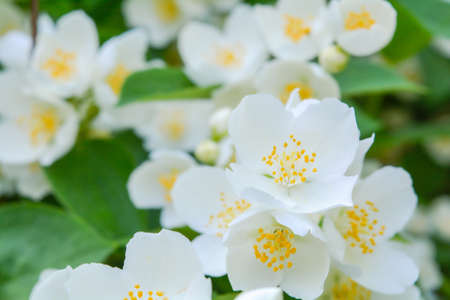 White jasmine bush blossoming in summer day with soft focus