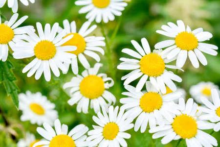 Feld der Kamillen am sonnigen Sommertag in der Natur. Aromatherapie mit Kräutern Kamille Gänseblümchen. Makroansicht von Medizinkamillenblüten auf grüner Wiese