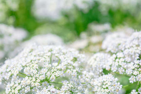 View of meadow white flower of Aegopodium podagraria L. called ground elder, herb gerard, bishop's weed, gout weed, gout wort, snow-in-the-mountain. Small white flowers as romantic wedding background