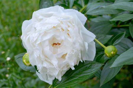 Close up of beautiful blooming white peony in summer garden. Natural flowers as florist decoration wallpaper or greeting card. Macro view with soft focus of fluffy, disheveled white peon petals