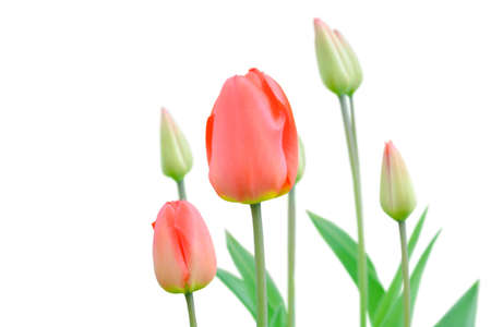 Gardening spring flowers tulip with buds isolated on white background. Grow young Tulip flowers with soft focus in nature Stockfoto