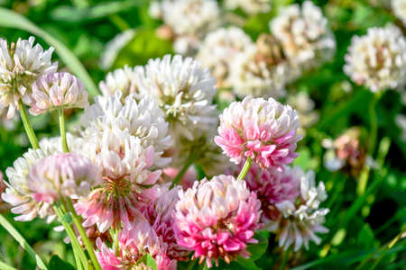 White clover aka Trifolium repens in grass on summer meadow. Close up of shamrock flower in green blurred background. Nectar source flowering plant