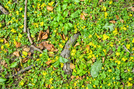 The natural detailed surface of forest soil ground with sticking out roots of old oak, wild ground cover grass and small yellow flowers. Texture of soil surface in summer forest in high resolution Zdjęcie Seryjne