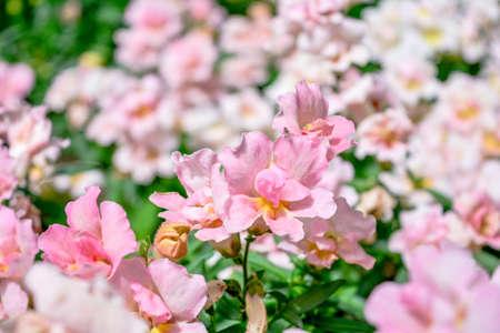 Pink small garden flowers in park. Garden flowers blooming in summer