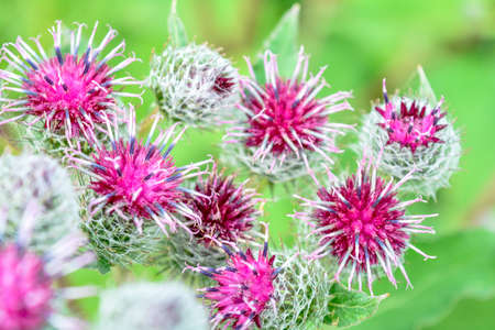 Wild herb of Thistle or Silybum marianum or Burdock. Herbal Thistle Burdock plant, used in medicine and as symbol of Scotland. Plant is rich in minerals and vitamin K. Selective focus