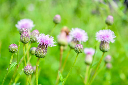Wild herb of Thistle or Silybum marianum or Burdock. Herbal Thistle Burdock plant, used in medicine and as symbol of Scotland. Plant is rich in minerals and vitamin K. Selective focus Imagens - 128891535