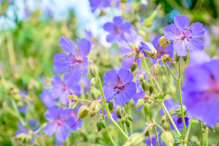 Beautiful flower of Meadow geranium - Geranium pratense. Beautiful nature scene with blooming medical flowers. Alternative medicine herb. Summer flower background Beautiful meadow Imagens - 128891538