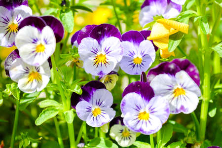 Garden pansy with purple and white petals. Hybrid pansy or Viola tricolor pansy in flowerbed. Violet pansy flower, close-up of viola tricolor in the spring garden