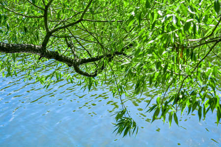 Branches of willow tree above pond in summer garden. Trees are reflected in water of lake with small ripples. Forest or park landscape