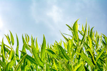 Willow or Salix Fragilis tree branches with fresh green leaves on blue sky with clouds background. Tree top against blue sky on a sunny day Imagens