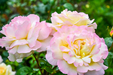 Red and pink rose flower. Close-up photo of garden flower with shallow depth of field Standard-Bild - 131682449