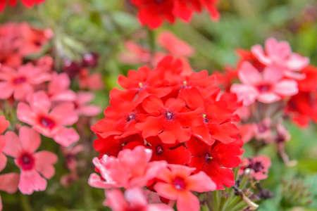 Red Pelargonium or Geranium flower in summer garden. Red geranium flowers on blurred background. Bright pelargonium blossom on sunny day. Flowers red geranium close up shot