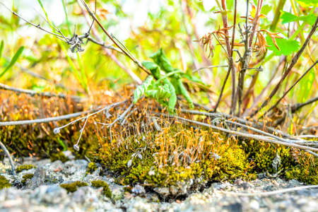 Close-up of orange seed capsules of ordinary moss among dry and green grass on green blurred background. Microscopic landscape of propagating wild moss and grass plants Stok Fotoğraf