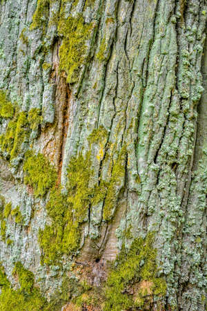 Texture of bark of ancient mighty oak tree trunk with moss and lichen. Old tree bark background