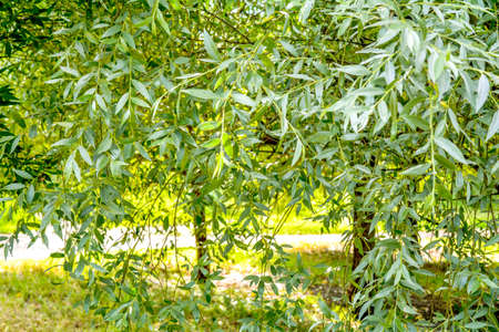 Willow trees with green fluffy foliage over garden pond in summer day. Salix or willow trees on riverside Banque d'images - 129368626
