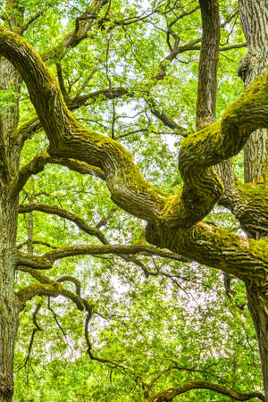 Musgo y torpes ramas de un poderoso roble antiguo en un bosque de verano. Roble viejo con corteza cubierta de musgo y líquenes en un entorno natural