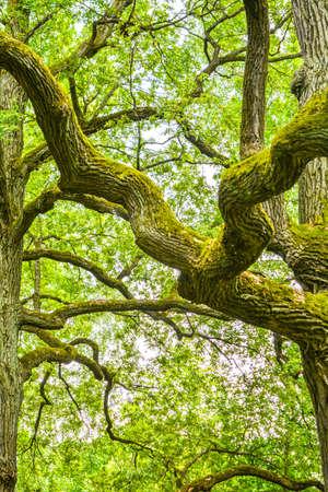 Omszałe niezdarne gałęzie potężnego starego dębu w letnim lesie. Stary dąb z korą porośnięty mchem i porostami w naturalnym otoczeniu