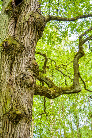 Mossy trunk and clumsy branches of a mighty ancient oak tree in a summer forest. Old oak with bark covered with moss and lichen in a natural setting Stock Photo