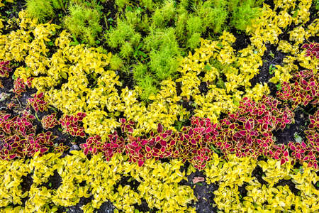Decorative garden coleus plants with bright red leaves cover themselves with a flower bed