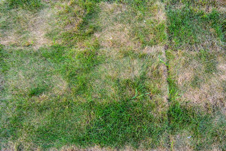 Rasenbriketts mit absterbendem Gras. Textur des sterbenden Rasens mit gesundem grünem Gras und totem trockenem Gras Standard-Bild