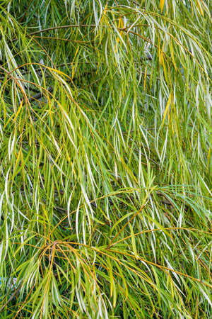 Weeping willow tree foliage background. Weeping willow branches with green leaves. Close up view of green foliage of crying willow tree