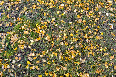 Autumn yellow dry leaves of birch tree on green grass on autumn warm day. Fallen autumn gold leaves as nature season background