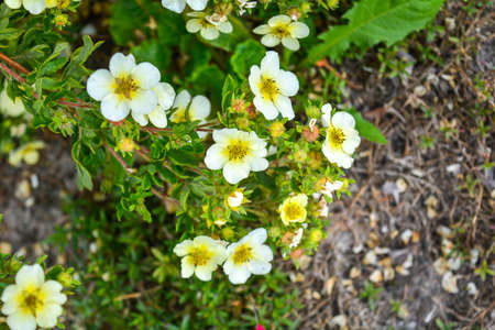 Soft macro focus of blooming bush with green leaves and small white flowers with yellow center. Pretty white flowers blooming in a garden. Close-up of bush of small white flowers